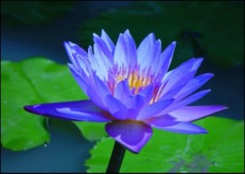 Lotus Absolute, Blue