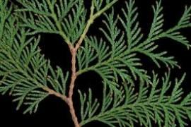 Cedar Leaf Essential Oil, Canada