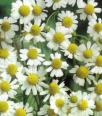 Chamomile Essential Oil, India