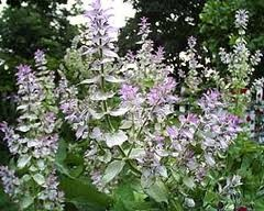 Clary Sage Essential Oil, Extra