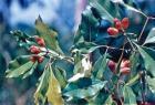 Clove Bud CO2 Extract