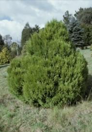 Cypress Wood Essential Oil