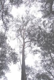 Eucalyptus Smithii Essential Oil, Wild