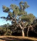 Eucalyptus Essential Oil, Lemon