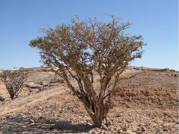 Frankincense CO2 Select, Oman
