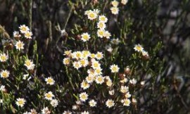Helichrysum Essential Oil, Organic