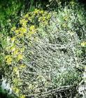 Helichrysum Essential Oil, Madagascar