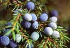 Juniperberry Essential Oil, Russia