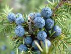 Juniperberry Essential Oil, Organic, Wild