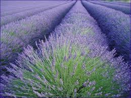 Lavender Essential Oil, Bulgarian Super