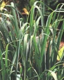 Lemongrass Essential Oil, India
