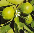 Lime Essential Oil, Brazil
