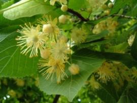 Linden Blossom Fragrance Oil