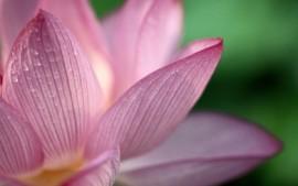 Lotus Absolute, Pink