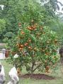 Mandarin Essential Oil, Petitgrain