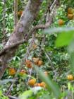 Orange Essential Oil, Wild