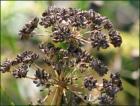 Parsley Seed Essential Oil