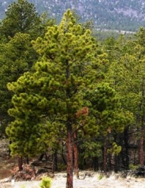 Pine Needle Essential Oil, Ponderosa, Wild Crafted