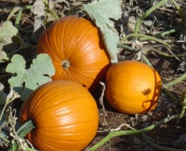 Pumpkin Spice Fragrance
