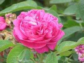 Rose Petal Hydrosol, Bulgaria