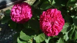 Rose Petal Hydrosol, Turkey