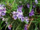 Rosemary CO2 Extract Antioxidant, Oil Soluble