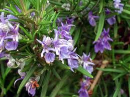 Rosemary Verbenone Hydrosol, Organic