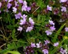 Thyme Essential Oil, Wild