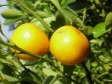 Grapefruit Essential Oil, White