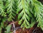 Cedar Leaf Essential Oil, Western Red, Canada