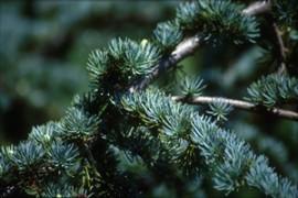 Cedar Wood Essential Oil, Virginia