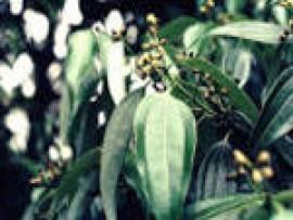 Cinnamon Leaf Essential Oil, Ceylon