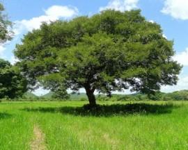 Copaiba Balsam Essential Oil