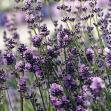 Lavender Essential Oil 40/42, Eastern Europe