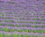 Lavender Essential Oil, Organic