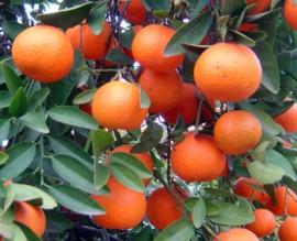Mandarin Essential Oil, Red