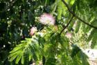 Mimosa Wax