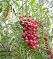 Pepper Tree Essential Oil, Pink, Wild