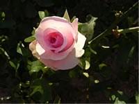 Lemon Rose Fragrance