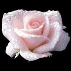 Rose Absolute, Bulgaria