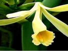 Vanilla Fragrance III
