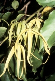 Ylang Ylang III Essential Oil