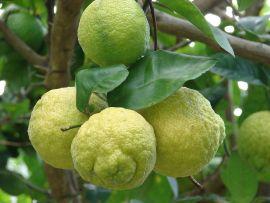 Lemon Essential Oil, Argentina